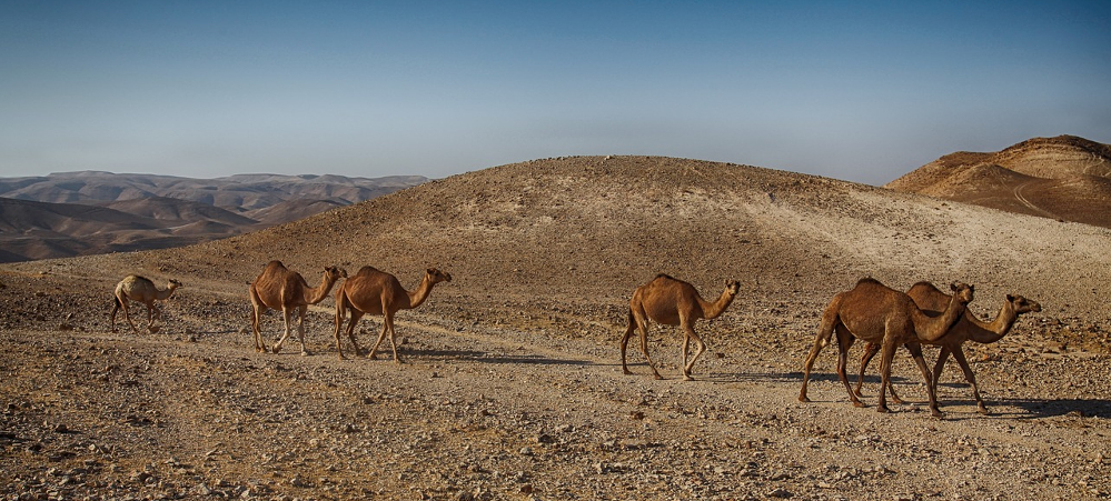 kamieli-izraela